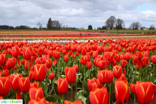 Oregon Tulip Festival red tulips