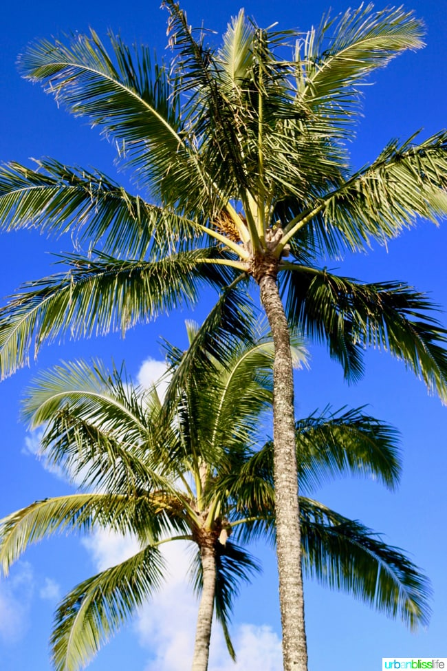palm tree in Kauai Hawaii