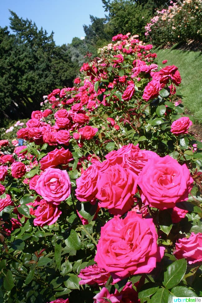 50 Things to Do in Portland, Oregon With Kids: Rose Garden