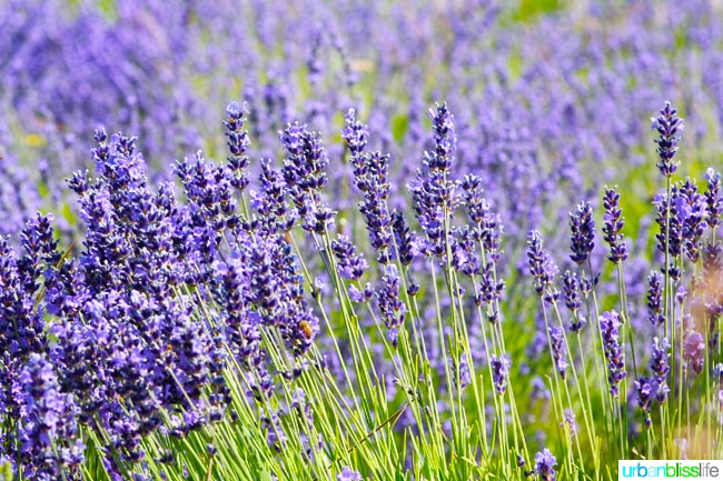 Things to do in Portland with Kids: Lavendar farm
