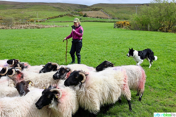 Glen Keen Farm Sheep Herding Demonstration