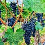 grapevines in vineyard at Walla Walla vintners