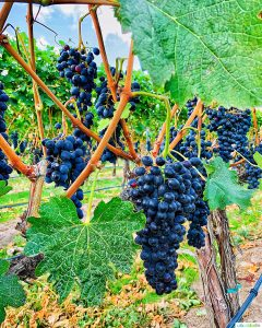 grapevines in vineyard at Walla Walla vintners